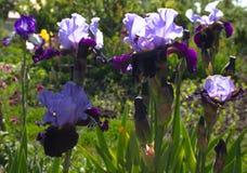 Nahaufnahme einer Blume von Schwertlilie Iris germanica Blume ist Stockfoto