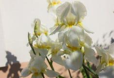 Nahaufnahme einer Blume von Schwertlilie Iris germanica Blume ist Lizenzfreie Stockfotografie