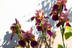 Nahaufnahme einer Blume von Schwertlilie Iris germanica Blume ist Stockfotos