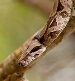 Nahaufnahme einer Boa constrictor stockbild