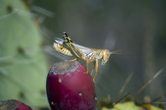 Nahaufnahme einer braunen Heuschrecke auf einem roten Kaktusfeigekaktus appl Stockfotografie