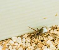 Nahaufnahme einer braunen weiblichen Spinne stockfotos