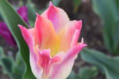 Nahaufnahme einer bunten rosa Tulpe in einem Garten Stockfoto