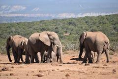 Nahaufnahme einer Elefantfamilie in Addo Elephant Park in Colchester, Südafrika Stockfotos