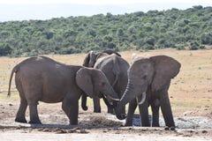 Nahaufnahme einer Elefantfamilie in Addo Elephant Park in Colchester, Südafrika Lizenzfreie Stockfotos