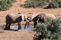 Nahaufnahme einer Elefantfamilie auf einem waterhole in Addo Elephant Park in Colchester, Südafrika Lizenzfreies Stockbild