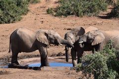 Nahaufnahme einer Elefantfamilie, die auf einem waterhole in Addo Elephant Park in Colchester, Südafrika steht Stockfotos