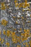 Nahaufnahme einer Espenbaumrinde mit gelber Flechte Stockfotos