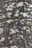Nahaufnahme einer Espenbaumrinde mit kleiner Menge der gelben Flechte Stockbild