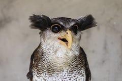 Nahaufnahme einer Eule mit einem verrückten und lustigen Gesichtsausdruck Lizenzfreie Stockbilder