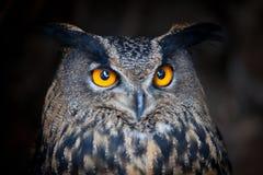 Nahaufnahme einer eurasischen Adler-Eule Lizenzfreie Stockfotografie