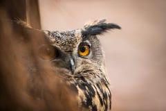 Nahaufnahme einer eurasischen Adler-Eule Lizenzfreies Stockbild