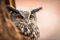 Nahaufnahme einer eurasischen Adler-Eule Lizenzfreies Stockfoto