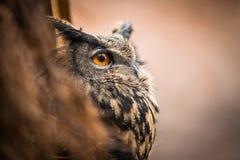 Nahaufnahme einer eurasischen Adler-Eule Lizenzfreie Stockfotos