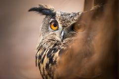 Nahaufnahme einer eurasischen Adler-Eule Stockfoto