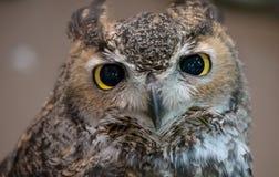 Nahaufnahme einer eurasischen Adler-Eule Stockbilder