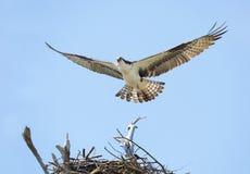 Nahaufnahme einer Fischadler-Landung auf ihr ` s Nest Lizenzfreie Stockfotos