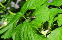 Nahaufnahme einer Fliege, die auf einem grünen Blatt sitzt Lizenzfreie Stockfotografie