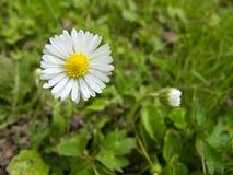 Nahaufnahme einer Gänseblümchenblume Stockbilder