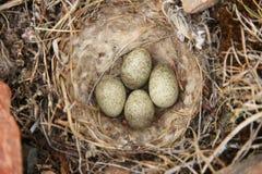 Nahaufnahme einer gehörnten Lerche u. des x28; oder Ufer lark& x29; Nest Lizenzfreie Stockbilder