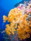 Nahaufnahme einer gelben Koralle Lizenzfreie Stockfotografie