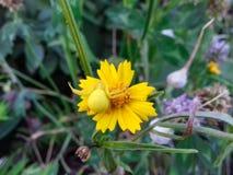 Nahaufnahme einer gelben Krabbenspinne auf einer gelben Blume Ein Beispiel des Nachahmens in der Natur stockfotografie
