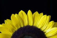 Nahaufnahme einer gelben Sonnenblume lokalisiert auf einem schwarzen Hintergrund Stockfotografie