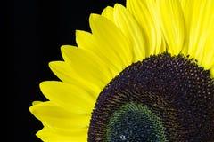 Nahaufnahme einer gelben Sonnenblume lokalisiert auf einem schwarzen Hintergrund Stockbild