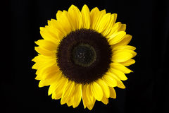 Nahaufnahme einer gelben Sonnenblume lokalisiert auf einem schwarzen Hintergrund Lizenzfreies Stockbild