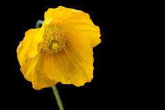 Färben Sie Mohnblume gelb Stockbild