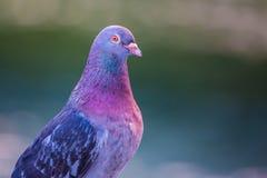 Nahaufnahme einer gemeinen Taube stockfoto