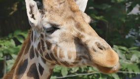 Nahaufnahme einer Giraffe stock video footage