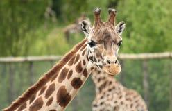 Nahaufnahme einer Giraffe Stockfoto