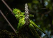 Nahaufnahme einer grünen Heuschrecke Stockfotografie