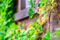 Nahaufnahme einer grünen Rebe eine Hecke stockfotografie