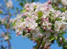 Nahaufnahme einer Gruppe der Holzapfelblüte Stockbilder