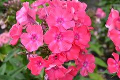 Nahaufnahme einer Gruppe der rosa Flammenblume, Flammenblume paniculata an einem sonnigen Sommertag im Garten Stockfotografie
