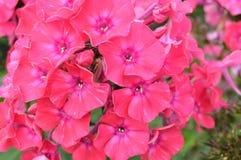 Nahaufnahme einer Gruppe der rosa Flammenblume, Flammenblume paniculata an einem sonnigen Sommertag im Garten Stockbild