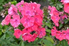 Nahaufnahme einer Gruppe der rosa Flammenblume, Flammenblume paniculata an einem sonnigen Sommertag im Garten Stockfotos