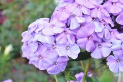 Nahaufnahme einer Gruppe der rosa Flammenblume, Flammenblume paniculata an einem sonnigen Sommertag im Garten Lizenzfreies Stockbild