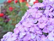Nahaufnahme einer Gruppe der rosa Flammenblume, Flammenblume paniculata an einem sonnigen Sommertag im Garten Stockfoto