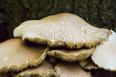 Nahaufnahme einer Gruppe der wilden Pilze Lizenzfreie Stockbilder