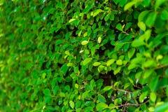 Nahaufnahme einer Hecke auf der Wand, grüne Blätter des Busches lizenzfreie stockbilder
