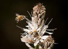 Nahaufnahme einer Hummel, die den weißen Blüten von Asphod sich nähert lizenzfreies stockfoto