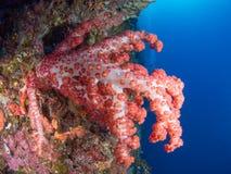 Nahaufnahme einer Koralle Lizenzfreie Stockfotos