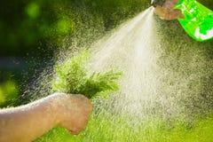 Nahaufnahme einer Landwirt ` s Hand, die ein Bündel frischen grünen Dill hält Dill wird mit Wasser von einem Zerstäuber gespritzt Stockfotos