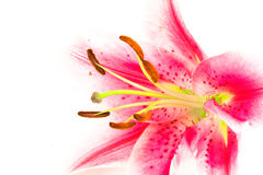 Nahaufnahme einer Lilie Lizenzfreie Stockfotografie