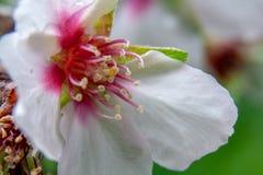 Nahaufnahme einer Mandelblüte stockfotografie