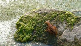 Nahaufnahme einer menschlichen Hand, produziert Panzerkrebse auf einem Stein nahe dem Wasser mit Algen Astacus Astacus bewegt sic stock video footage