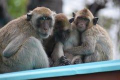 Nahaufnahme einer netten Affefamilie am Affeberg Khao Takiab in Hua Hin, Thailand, Asien Lizenzfreie Stockfotografie